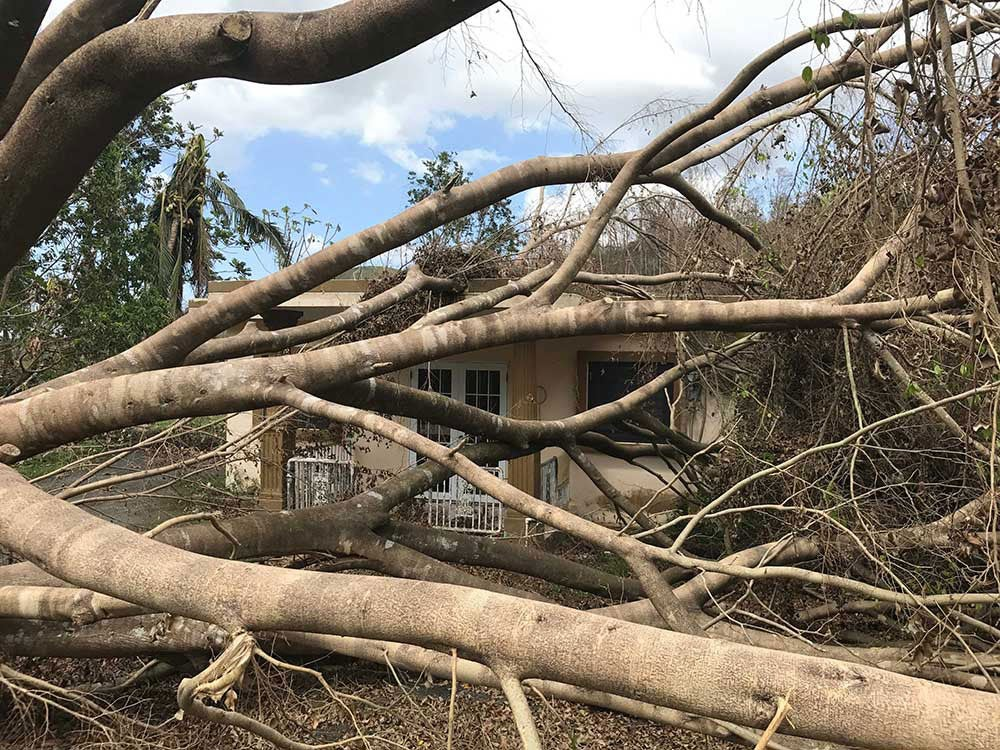 A great ficus fell on a house in Las Marías. Photo: Bryant Huffman / climbingPR.com.